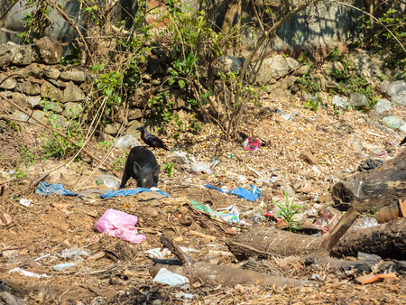 GOA, INDIA - February 22, 2011: Pig and crow eating garbage, rummaging through Indian garb, Indian coast, India, ecological disaster. Redactioneel