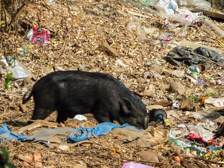 GOA, INDIA - February 22, 2011: Pig and crow eating garbage, rummaging through Indian garb, Indian coast, India, ecological disaster. Редакционное