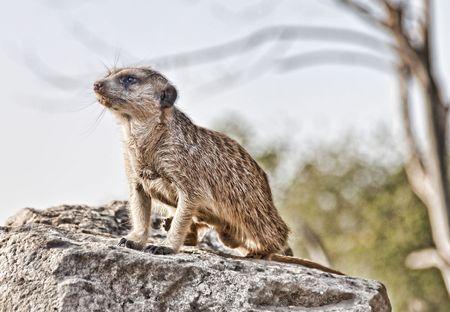 suricate: suricate Stock Photo