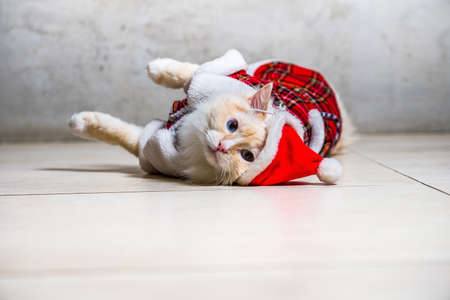 Fluffy ragdoll cat with blue eyes in santas hat and housecoat lying on the floor Stock Photo