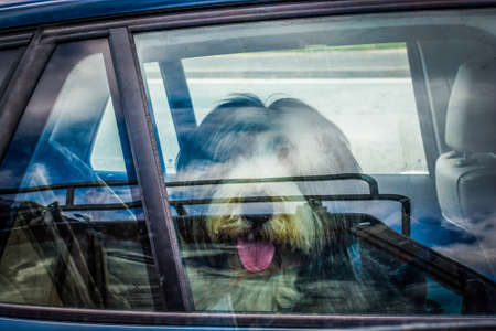 Cute big dog with tongue out in hot weather locked in a car on parking spot Stock Photo
