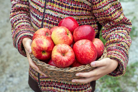 Hands of young girl are holding wicker basket full of organic red ripe autumn apples. Seasonal fruit gathering, agriculture and farming concept. Closeup, selective focus Standard-Bild
