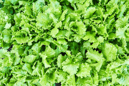 Fresh green lettuce leaves are growing in the garden