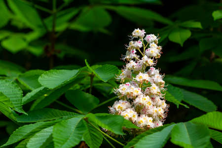 Branch of white chestnut flowers against the background of green leaves. Closeup, selective focus