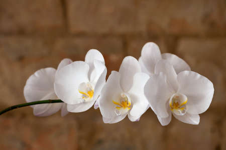 White branch of orchid on the background of a brick wall