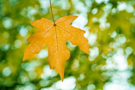 Beautiful autumn orange maple leaf on tree in park against the background of green foliage. Closeup, selective focus