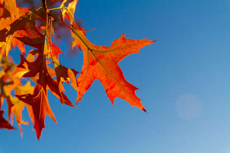 Red maple leaves against the blue sky. Autumn concept. Closeup, selective focus