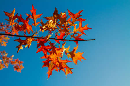 Red maple leaves against the blue sky. Autumn concept.