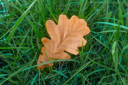 Autumn yellow oak leaf in bright green grass. Closeup, selective focus