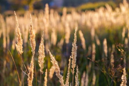Fluffy autumn spikelets of grass on the background of the sunset Stock fotó