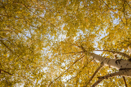 Birch forest view to the sky, autumn nature. Bottom view