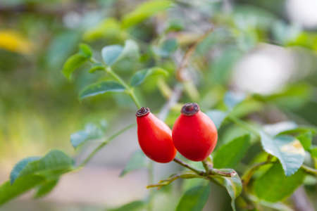 Closeup of dog-rose berries. Rose-hip fruit on the branch. Wild rosehips in nature. Selective focus