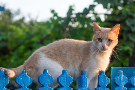 A red cat sits before the blue fence