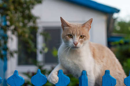 A red cat sits before the blue fence. Country house in the background