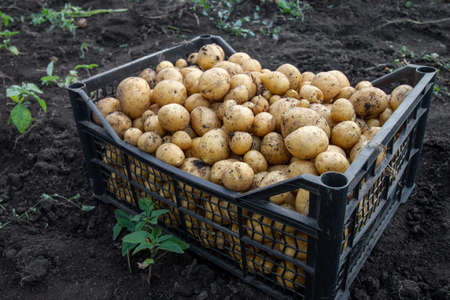 Harvest of young potatoes. Potatoes in a plastic box, standing on the ground. Outdoor, summer season