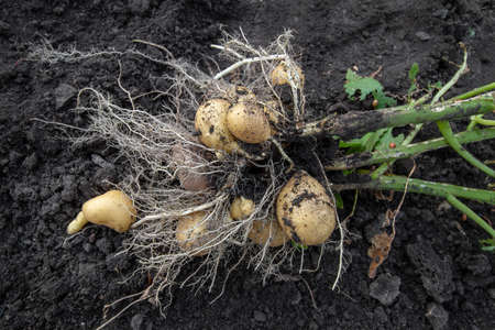 Tubers of young potatoes with roots and stems Stock fotó