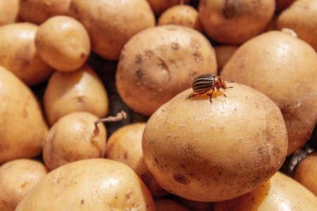Colorado beetle sits on the fresh young organic potatoe. Closeup, selective focus Stock fotó