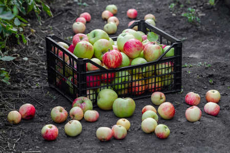 Red, yellow and green apples just picked from an orchard. Apples are in a plastic crate on the ground. Harvesting apples. Stock fotó