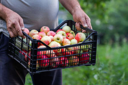 A farmer man collected the harvest in the garden. A summerman holds plastic box with apples and zucchini on the green plants background. Closeup, selective focus Stock fotó