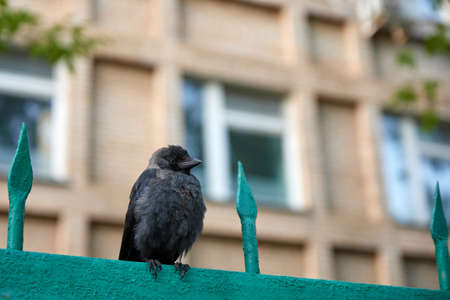 Crow chick on the fence on the background of the building