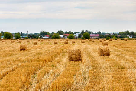Bright yellow dry Rolls of haystacks on the summer field. Rural landscapes