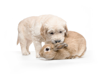 palomino: Golden Retriever Puppy Playing with Golden Palomino Rabbit Stock Photo