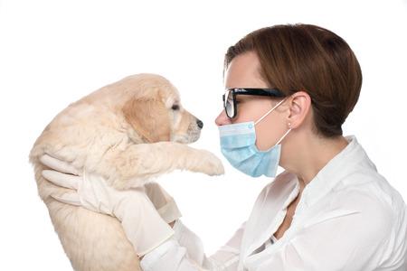 to examine: Veterinarian Examine Cute Golden retriever Puppy