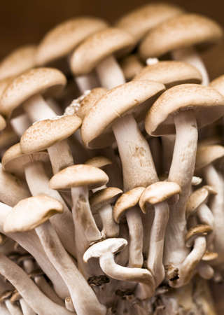 Close-up of Brown Beech Mushrooms - Buna Shimeji photo
