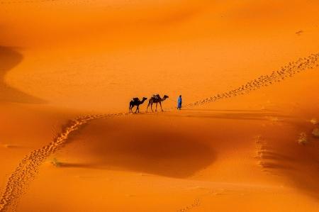 desierto del sahara: Camellos en el desierto del Sahara Foto de archivo