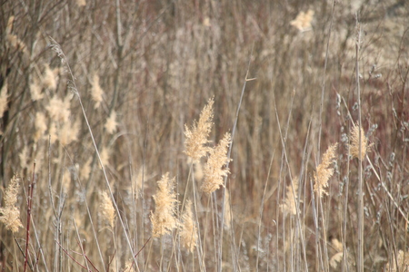 bulrush as a nature background Stock Photo