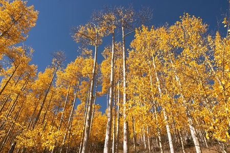Colorado Aspen leaves in the fall. photo