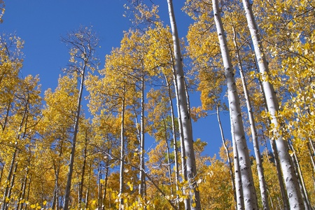 Colorado aspen trees in the fall.