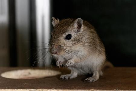 curiously: Close-up of gerbil looking at camera curiously