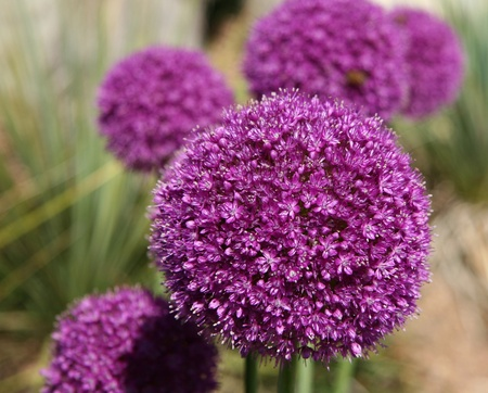 Close-up of Allium Gladiator flowers in bloom during the summer