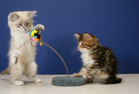 Young and playful kittens on tabletop with a blue wall for background Stock Photo