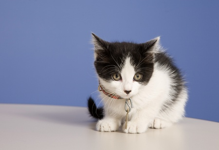 Young kitten in a foster program until he's old enough for adoption.  About 5-6 weeks old here. Stock Photo - 8933989