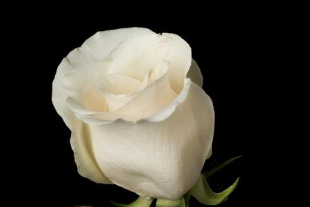Single white rose shot against a black background