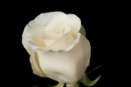 Single white rose shot against a black background