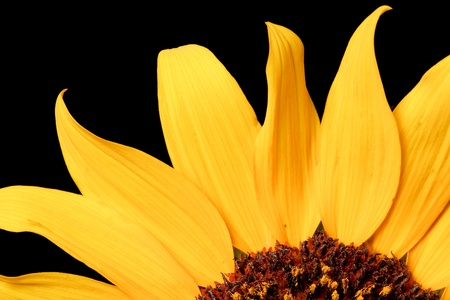 Close up of a wild sunflower - shot with black background