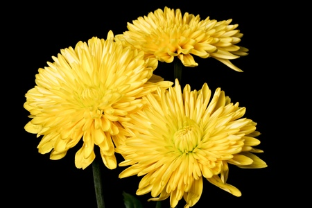 CLose up of yellow spider mum against a black background photo