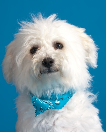 Young bichon frise puppy wearing bandana on blue background Stock Photo