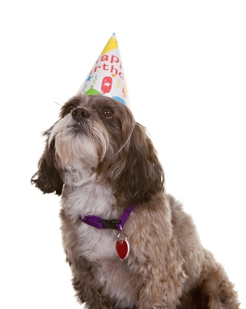 Small dog wearing a birthday party hat Stock Photo - 10713651