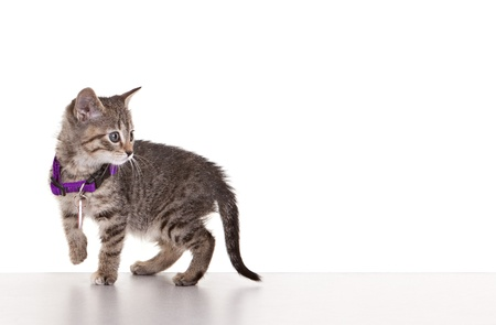 watch over: Grey tabby kitten on white background. Stock Photo