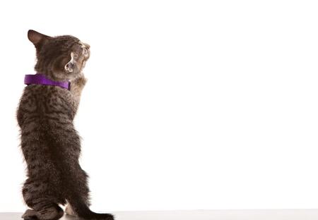 Grey tabby kitten on white background. Standard-Bild