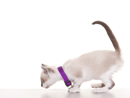 white collars: Young siamese kitten wearing collar and tag on a white background. Stock Photo