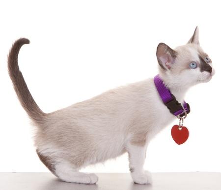 Gatito siamés joven llevaba collar y etiqueta sobre un fondo blanco.