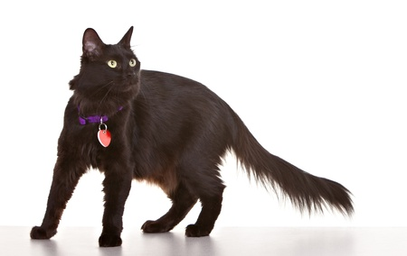 tag: Black cat on white background wearing collar and tag