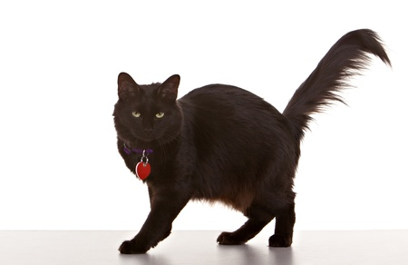 prowling: Black cat on white background wearing collar and tag