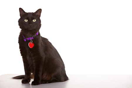 Black cat on white background wearing collar and tag