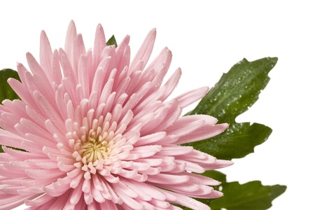 Close-up of blooming pink spider mum flower
